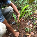 Pé de Gueroba em mata de galeria já apresenta caule onde se desenvolverá famoso palmito do Cerrado